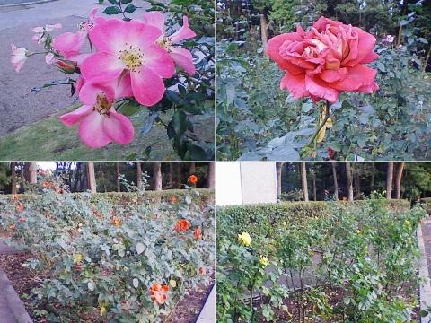 mooka_rose2012_13
