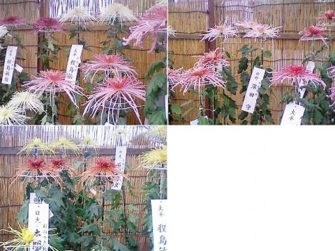 sano_kiku2012_7