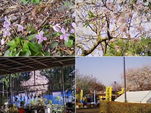 tenpyo_sakura2013_11