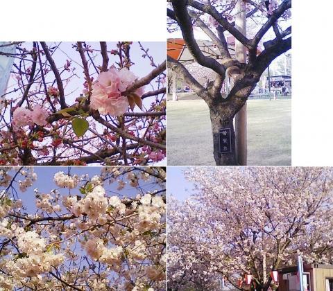 tenpyo_sakura2013_12