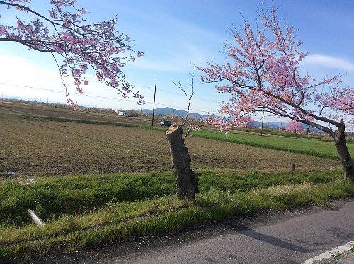 桜_3615のコピー(1)