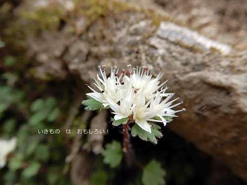 白花猫の目草