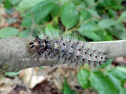 マイマイガ終齢幼虫