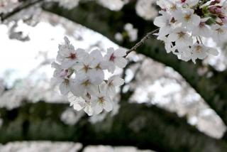 190406tetsugakunomichi(22).jpg