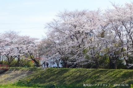 新川沿いのソメイヨシノ3