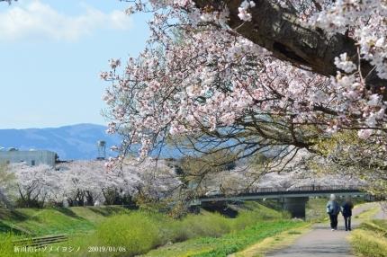 新川沿いのソメイヨシノ6