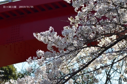 << Iwaki-shi cherry tree information 2019 >> cherry blossoms of Matsugaoka Park are in full bloom! [Tuesday, April 9, 2019 update]