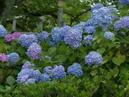 道後公園 紫陽花 4