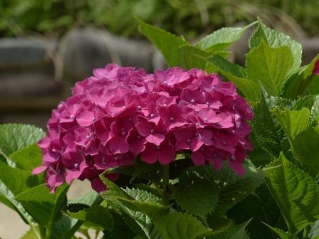 道後公園 紫陽花 5