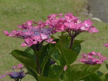 道後公園 紫陽花 11