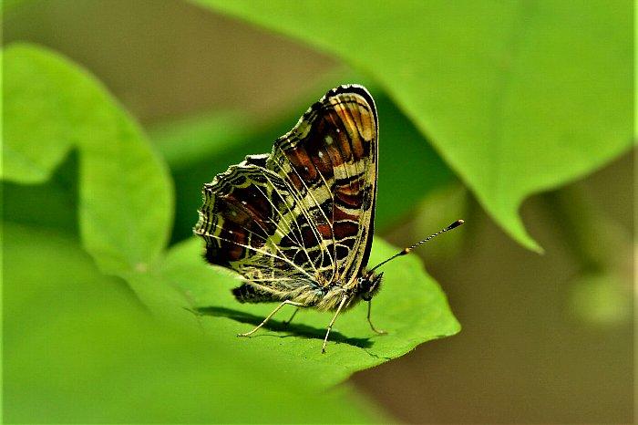 サカハチョウs