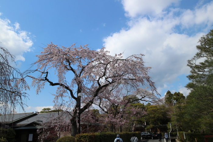 哲学の道にほど近く咲く桜