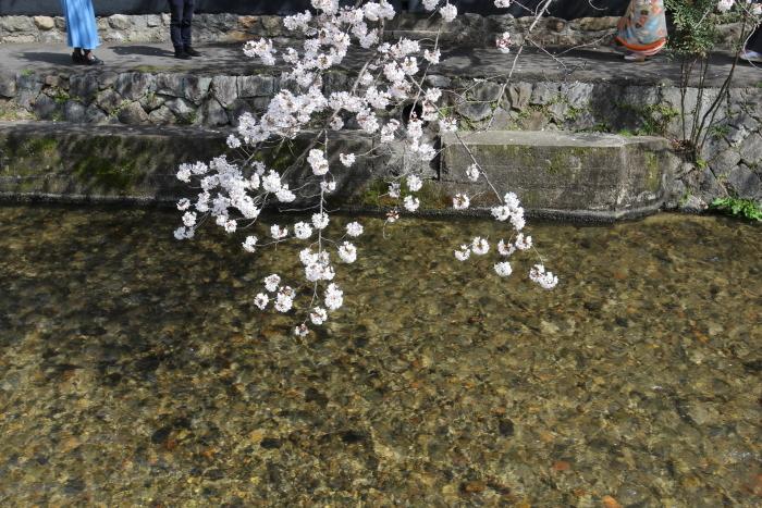 白川の清流と桜