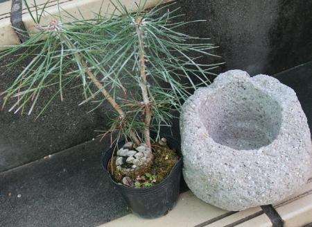 松ぼっくりの松と軽石鉢