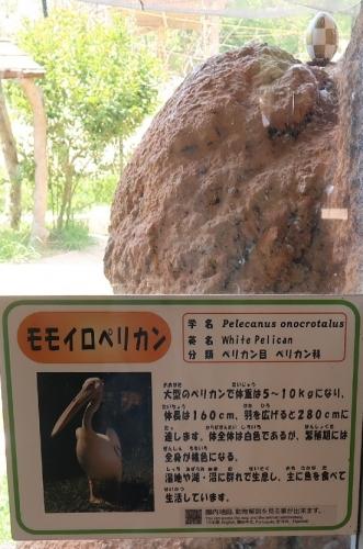 のんほいパーク モモイロペリカン