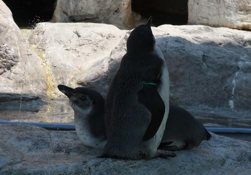 のんほいパーク フンボルトペンギンあかちゃん