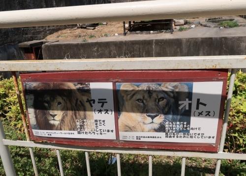 のんほいパーク ライオン