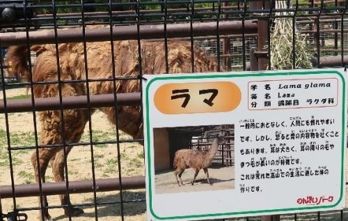 のんほいパーク ラマ