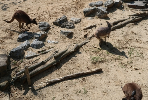 のんほいパーク カンガルーやワラビー、ワラルーたち