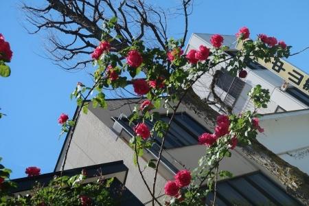 長野 バラの街路樹