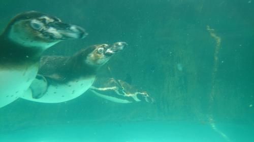 のんほいパーク フンボルトペンギン
