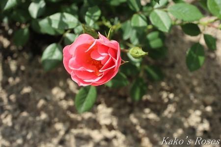 s-IMG_2363kako.jpg