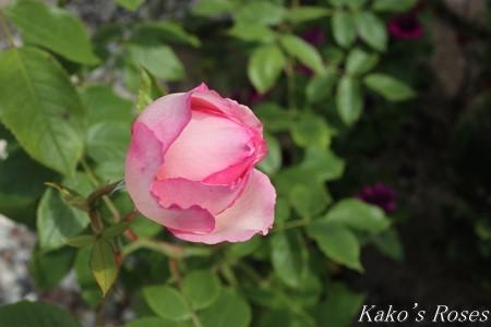 s-IMG_2481kako.jpg