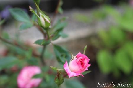 s-IMG_2921kako.jpg