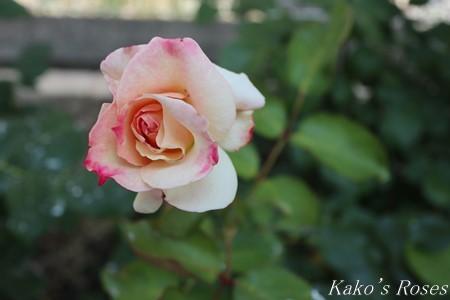 s-IMG_3152kako.jpg