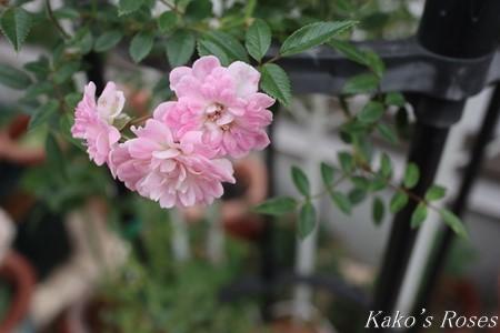 s-IMG_3406kako.jpg