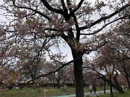 4112019 花のまわりみち 今年の枝垂れ桜 S6