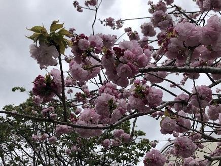 4112019 花のまわりみち 今年の枝垂れ桜 S8