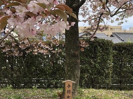 4112019 花のまわりみち 手弱女桜 S10