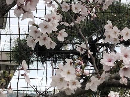 4092019 阿賀小桜 S1