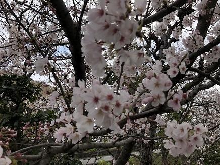 4012019 48番西林寺桜 S3