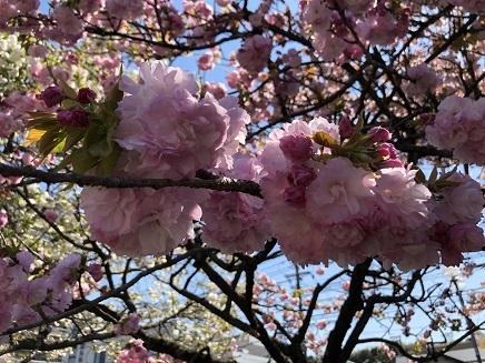 4122019 広島造幣局八重桜 S6