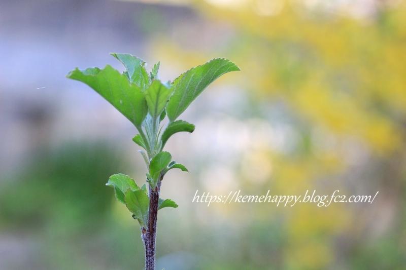 姫リンゴの新芽