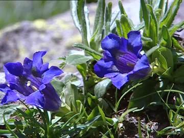 823125698-リンドウ-高山植物-花弁-アローザ