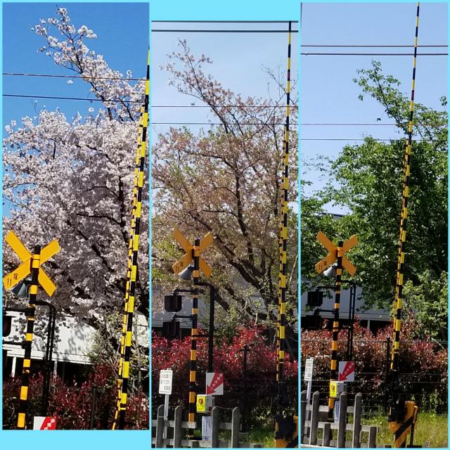 068川越の桜