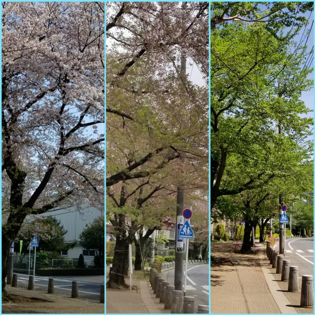 043新所の桜