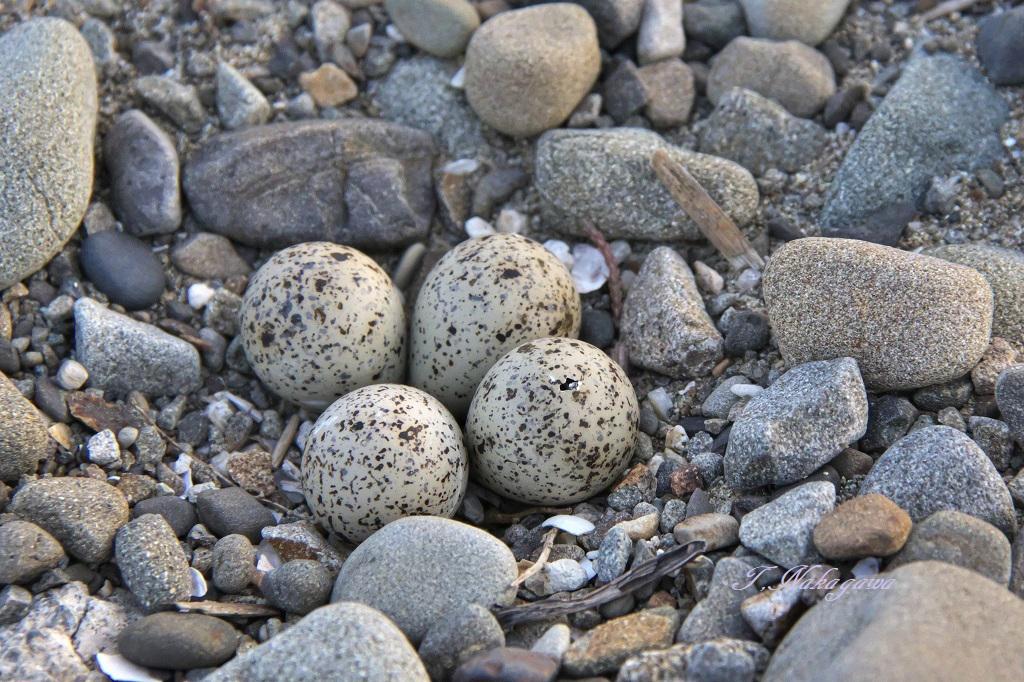 1コチドリ 卵に穴_19-06-06_001