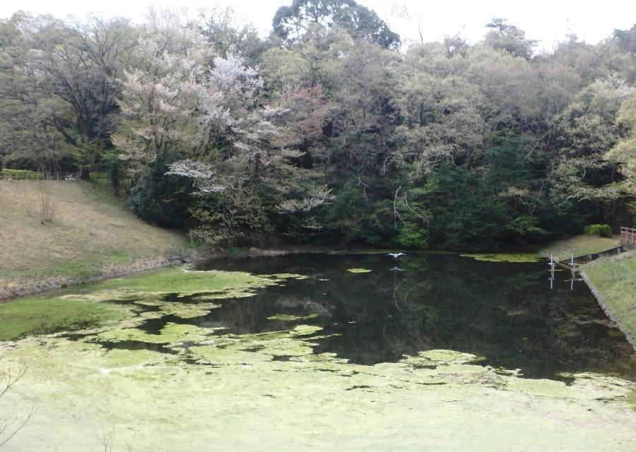 さくらアマ池