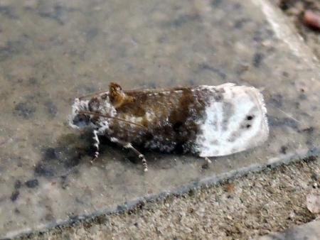グミオオウスヅマヒメハマキ
