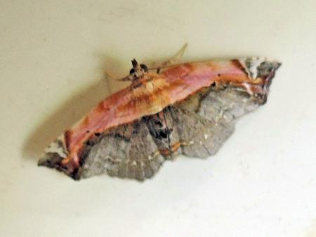 モモイロツマキリコヤガ