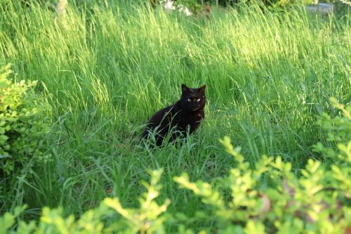 草原の黒猫