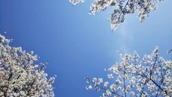 2019年4月5日桜日和1