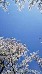 2019年4月5日桜日和2