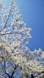 2019年4月5日桜日和3