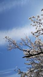 2019年4月5日桜日和4