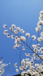 2019年4月5日桜日和6